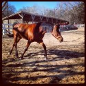 Beautiful Arabian mare for sale